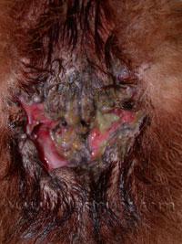 Dog Perianal Fistula Pictures