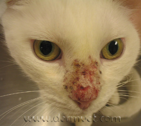 dermatology clinic for animals » mosquito bite hypersensitivity, Skeleton