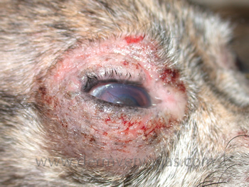 Dog Ear Infections Due To Food Allergies