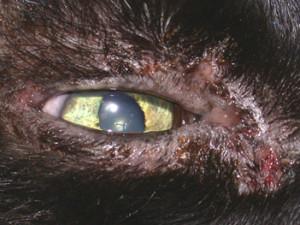 Dermatology Clinic For Animals Feline Herpes Virus Dermatitis